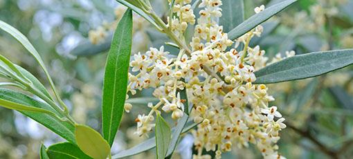 allergia olivo lofarma